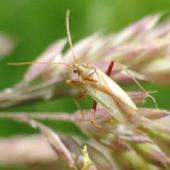 本県で被害の多い代表的な斑点米カメムシ類のアカスジカスミカメ(成虫)。体長約 5mm でほ場で確認するのは困難。